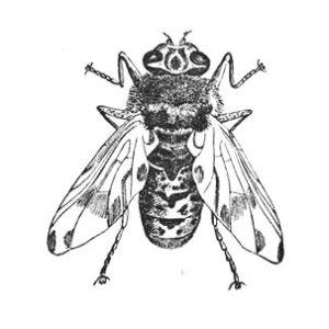 The horse botfly