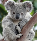 Cuddly Koala, part of the Animals Alphabet