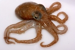 Objectionable Octopus, part of the Animals Alphabet