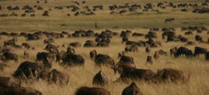 Wildebeest in the Serengeti, Tanzania