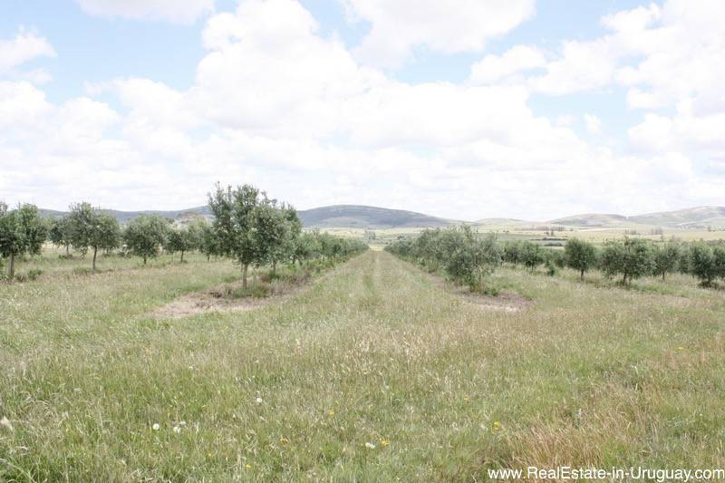 Producing olive farm off ruta 39 with own brand