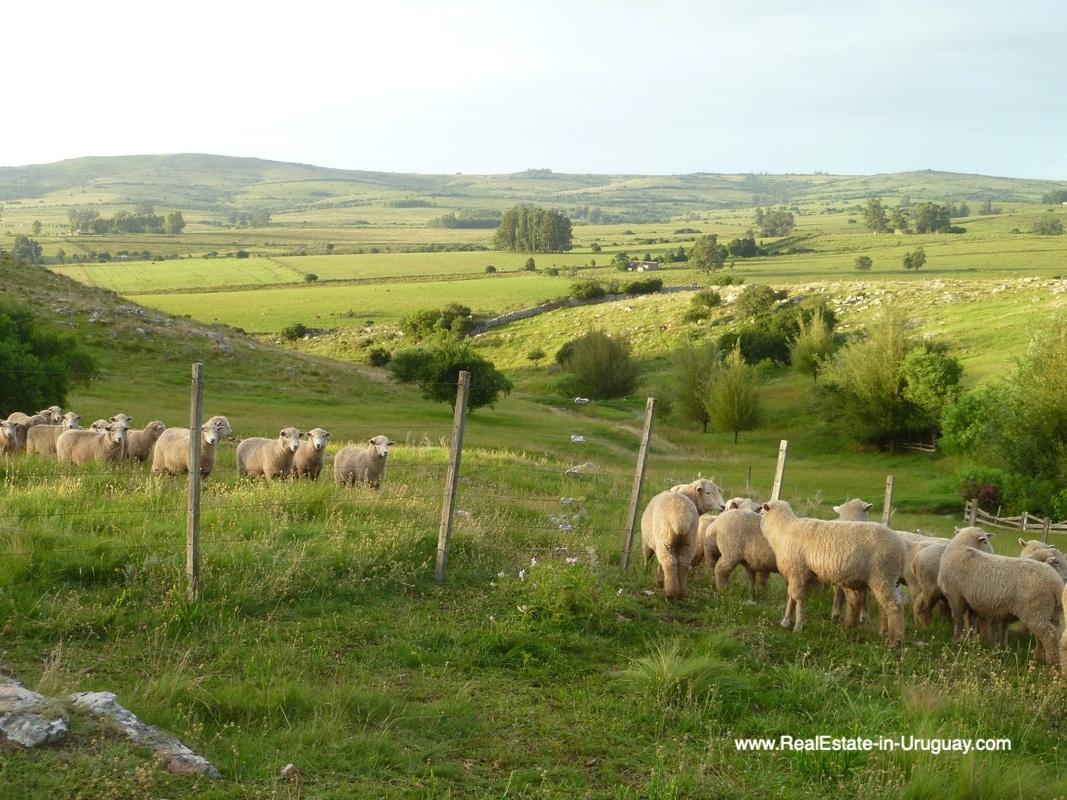 Sheeps of Farm House in the Pueblo Eden Area