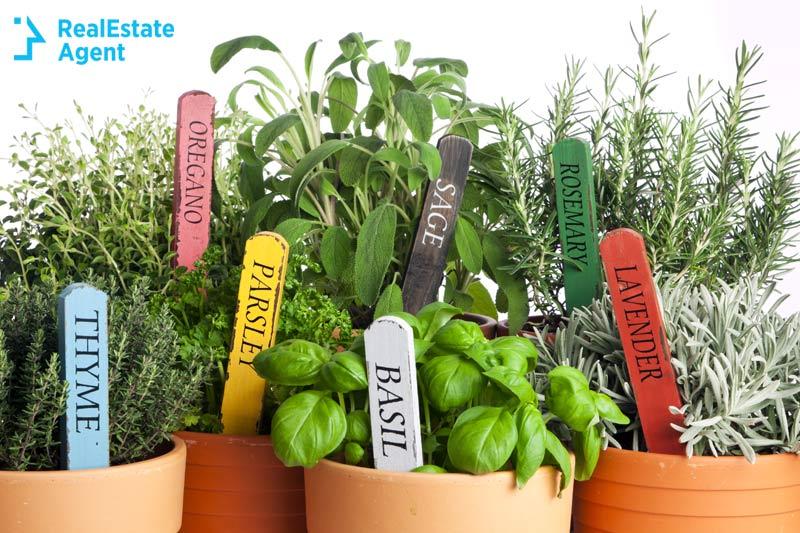 organic herbs in pots