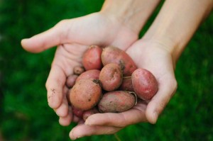 hands-potatoes-924688-gallery