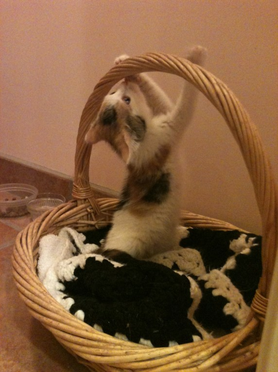 Cute Basket Kitty