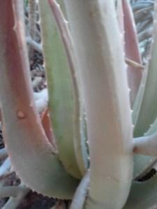 aloe vera for skin conditions