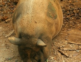 pork contaminated with bacteria and drugs