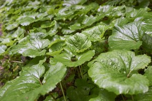 burdock leaves
