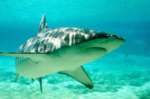 shark attacks not reduced by culling