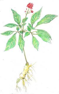 red ginseng and blood sugar and vasodilation