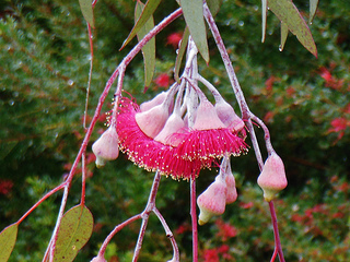 eucalyptus inhibits airborne spread of tuberculosis