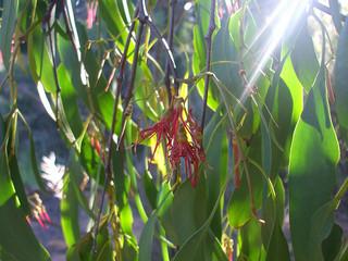 mistletoe extends survival time for cancer