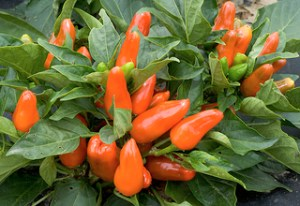 red peppers extend lifespan for non-drinkers