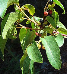 maqui berry superfruit heart healthy and lung healthy
