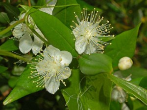 Myrtus communis is antibiotic against skin bacteria