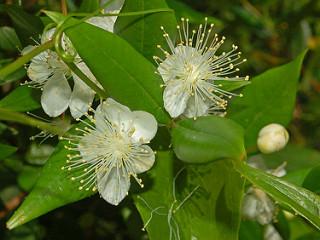Myrtus communis is antibiotic against skin bacteria