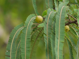 Amla intestinal problems