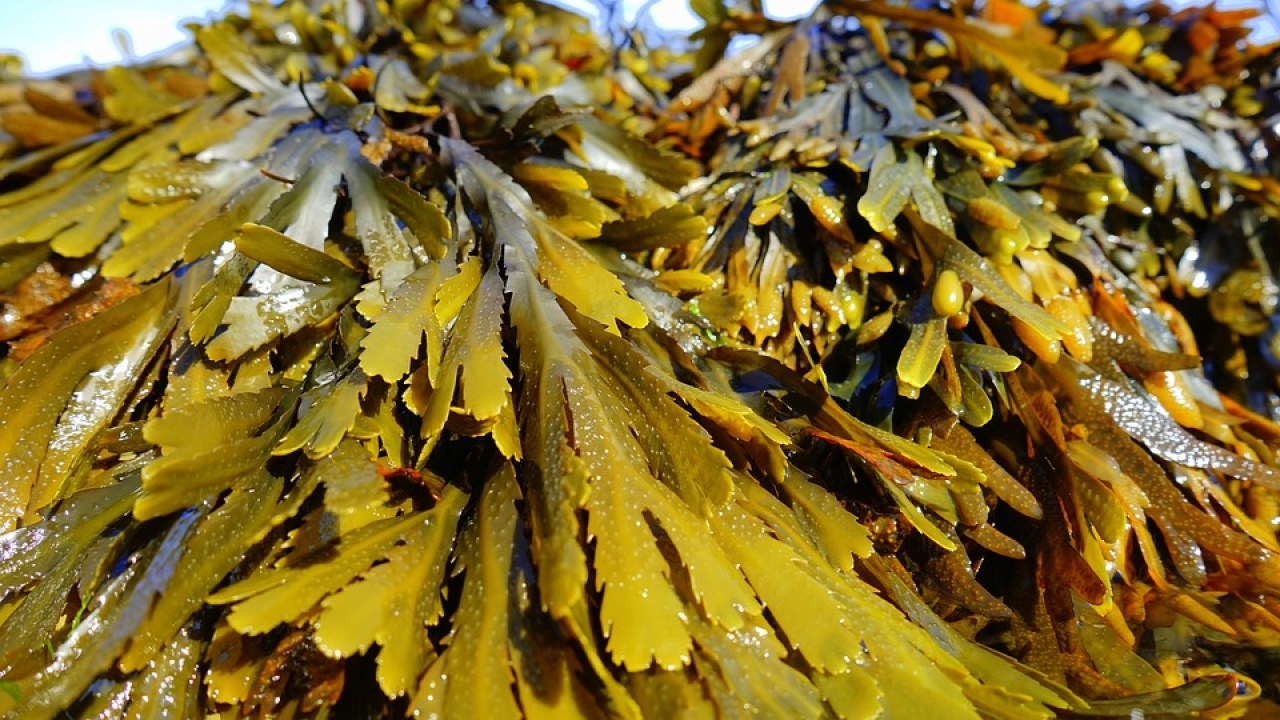 Kelp and Bladderwrack Seaweeds Boost Cognition   Heal Naturally