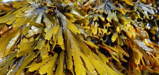 Seaweeds kelp and bladderwrack boost cognition
