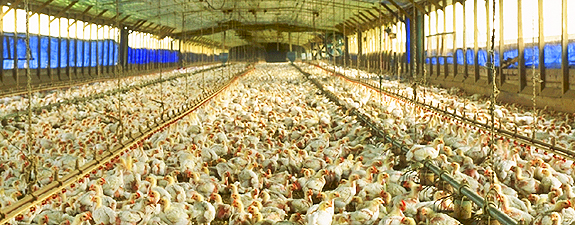 "This is a conventional CAFO. There are no pictures permitted of ""organic"" CAFOs, but they look the same."