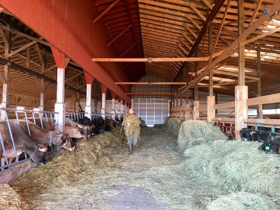 Caitlin Frame feeds her cows from hay bales in the winter barn