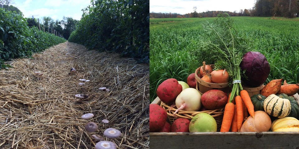 Beneficial fungi growing between crop rows at Roxbury Farm CSA on left, mixed harvest on right