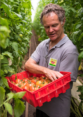 Dave Chapman of Long Wind Farm picks tomatoes in his greenhouse
