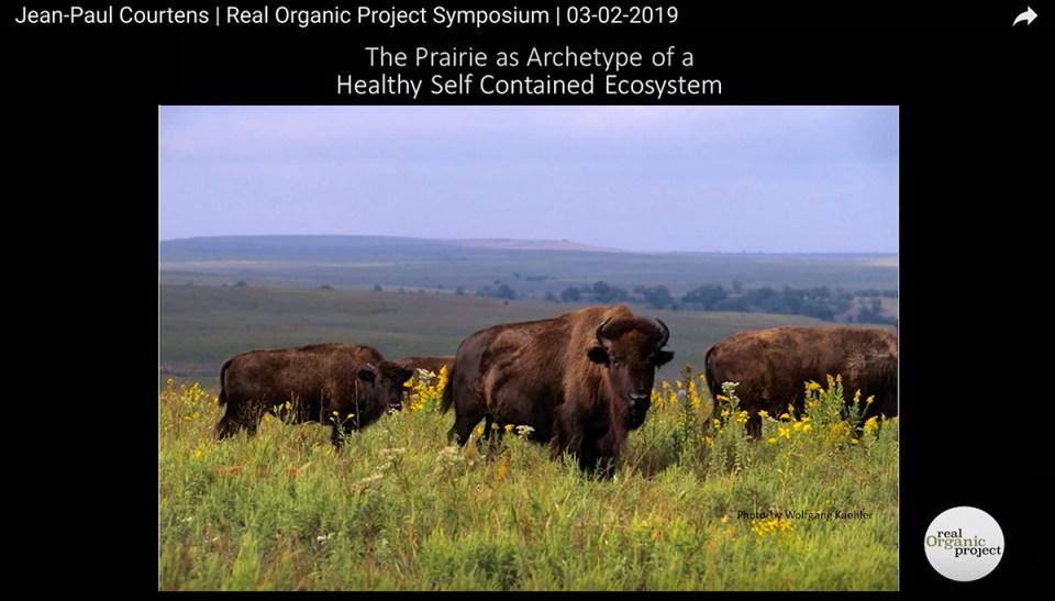bison grazing on the prairie
