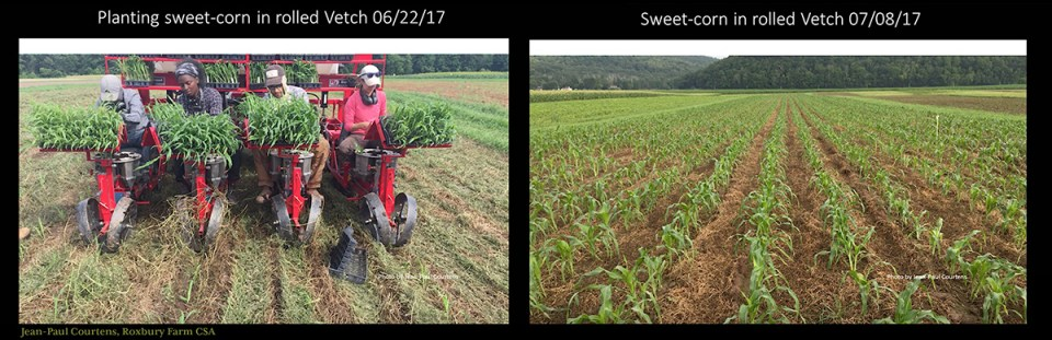 planting corn in rolled and crimped vetch