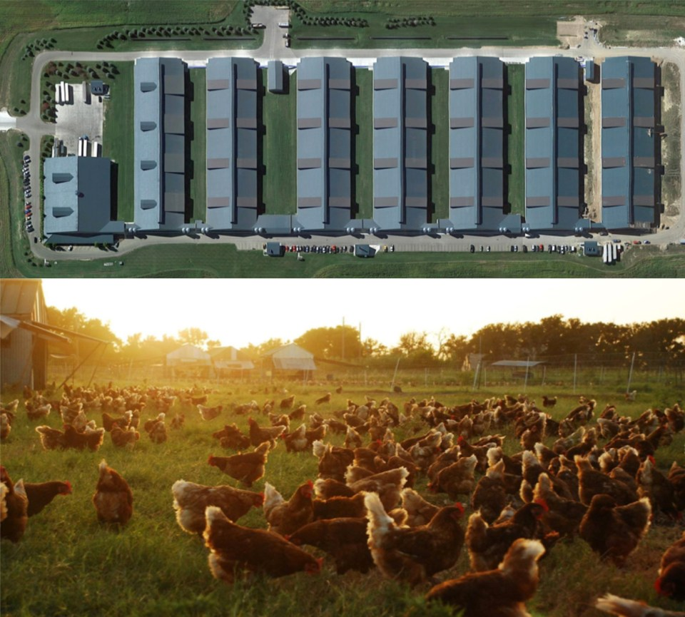 Split photo with aerial view of an indoor chicken CAFO (Concentrated Animal Feeding Operation) above and of certified organic chickens grazing on vegetated pasture below at Coyote Creek Farm in Texas.