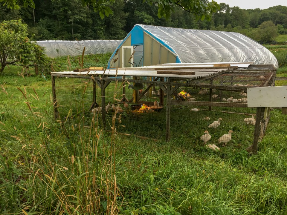 Chickens on outdoor pasture at Many Hands Farm Massachusetts