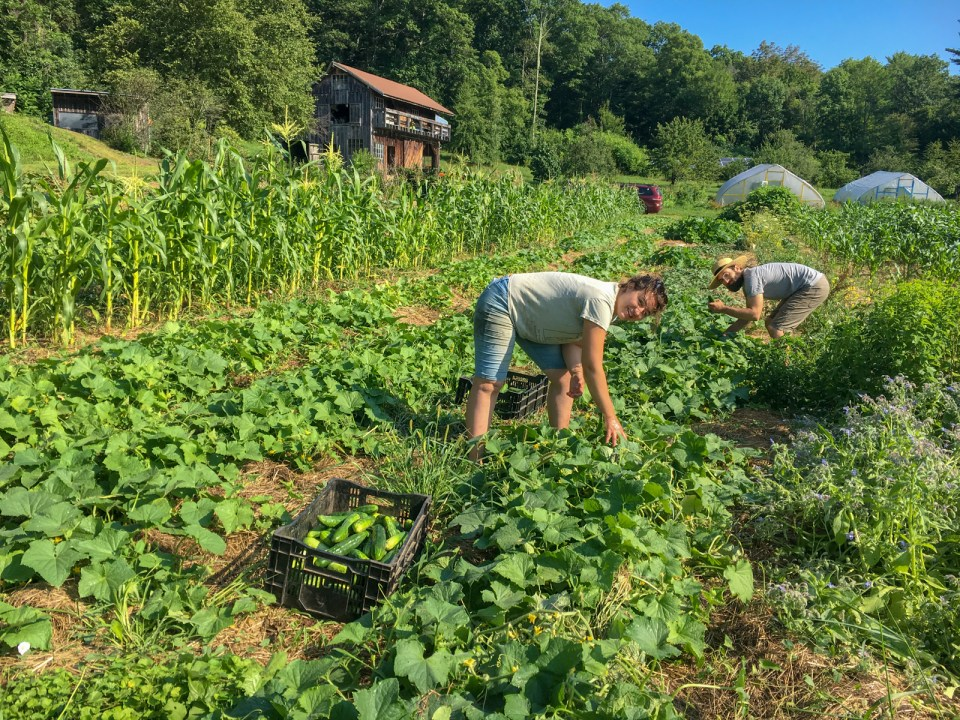 Working in the fields with soil-grown crops at Many Hands Farm Massachusetts