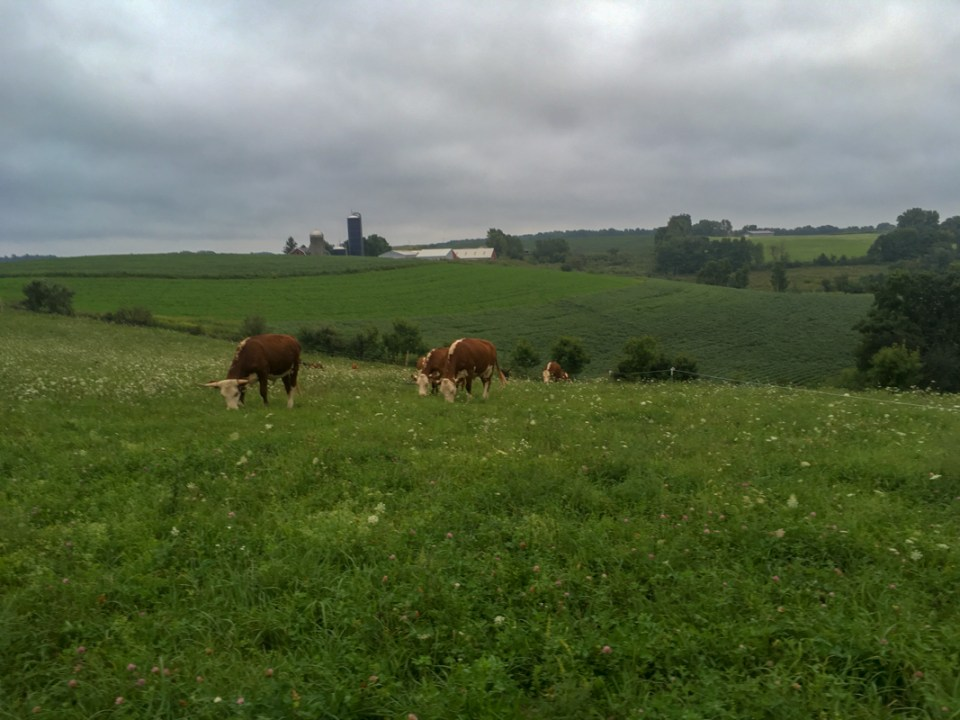 Cows graze on pasture at McCluskey Brothers Farm Wisconsin