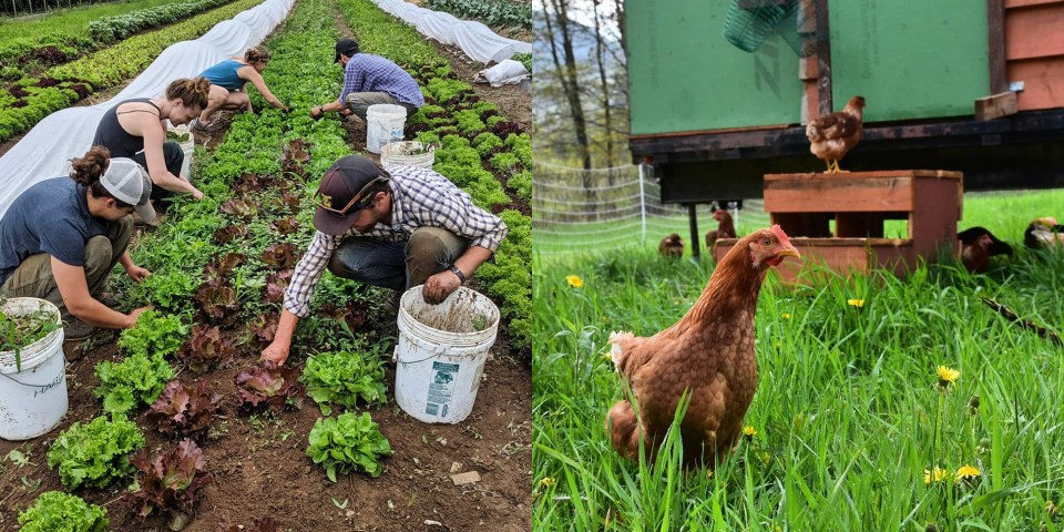 Farm crew harvesting and chickens enjoying the pasture at Footprint Farm Vermont