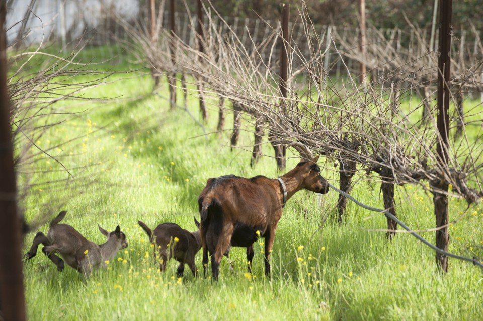 goats in the vineyard