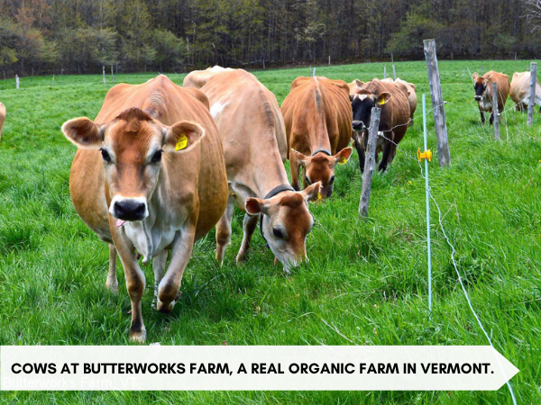 """An image of cows roaming on green pasture with text below that reads """"Cows at Butterworks Farm, a Real Organic Farm in Vermont."""""""