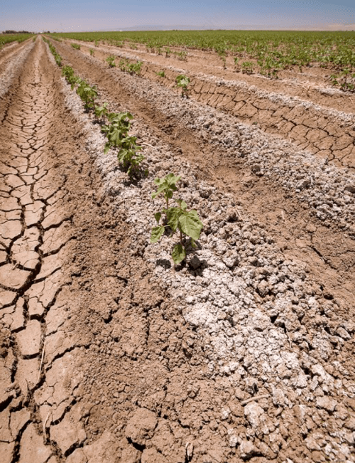 Rows of small green seedlings with white salt at their base are surrounded by brown cracked and dried soil.