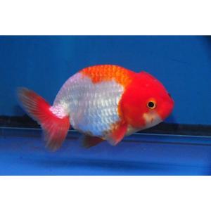 red-white-ranchu-6-7cm at Rebel Pets