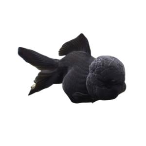 Black Oranda