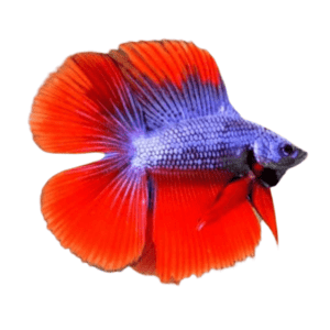 Double Tail Betta Male at Rebel Pets