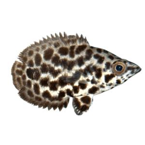 Live Leopard Bushfish at Rebel Pets