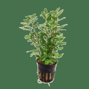 Hygrophila polysperma Indian Waterweed at Rebel Pets