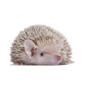 Lesser Hedgehog Tenrec at Rebel Pets