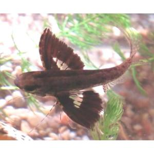 African Butterfly Fish at Rebel Pets