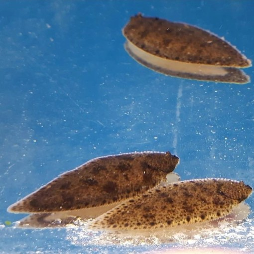 Freshwater Sole Fish at Rebel Pets