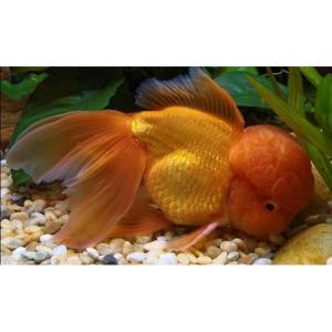 Oranda Goldfish at Rebel Pets
