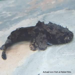 Freshwater Lionfish at Rebel Pets