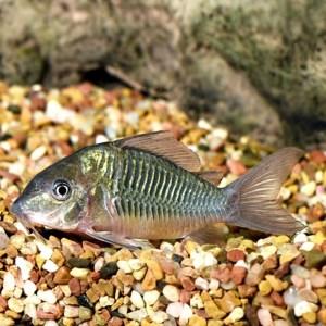 Green Cory Catfish at Rebel Pets