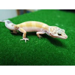 Super Hypo Leopard Gecko at Rebel Pets
