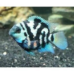 Polar Blue Parrot Fish at Rebel Pets